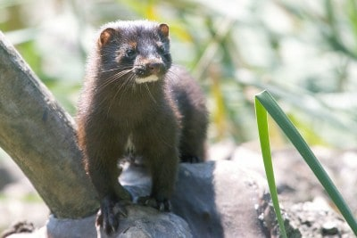 1024px-Mink_in_the_park