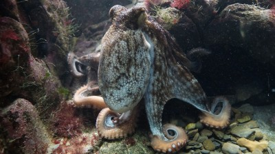 Octopuses Are So Intelligent, Scientists Are Sure They Must Be Aliens