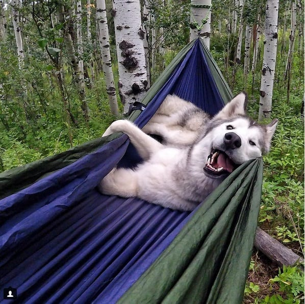 Credit: @loki_the_wolfdog