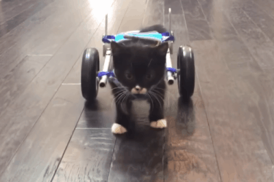 Disabled Kitten Receives 3D-Printed Wheelchair To Walk Once Again