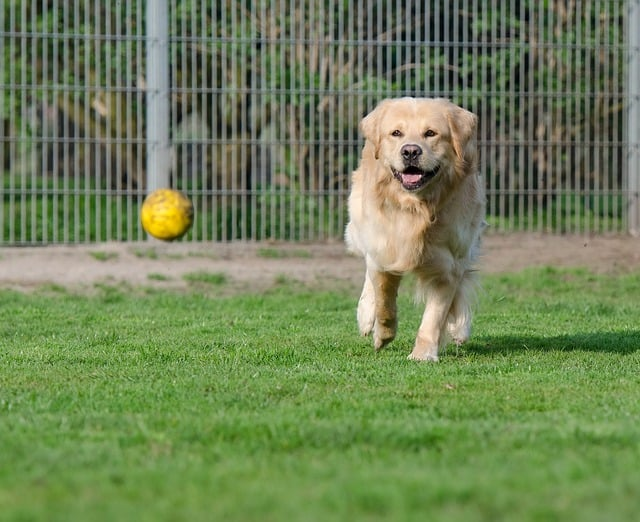 golden-retriever-750585_640