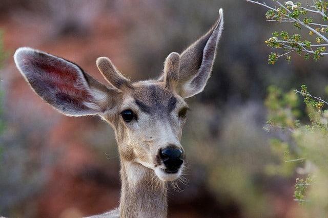 mule-deer-956692_640