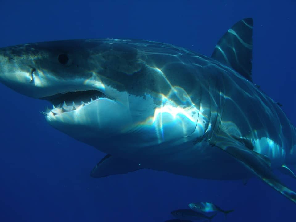 great-white-shark-398276_960_720