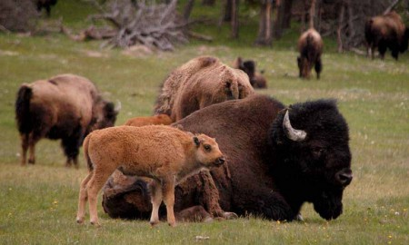 Credit: Yellowstone Gazette