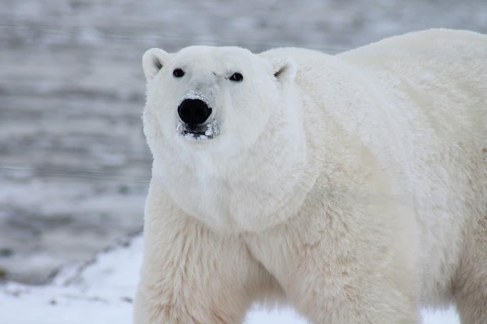 PolarBear1
