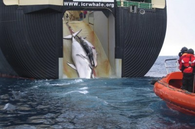 """Japanese Fleet Slaughters 333 Whales, 200 Of Which Are Pregnant Females, Calls It """"Science"""""""