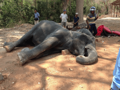 Elephant Dies While Giving Tourists Rides In 104 Degree F Heat