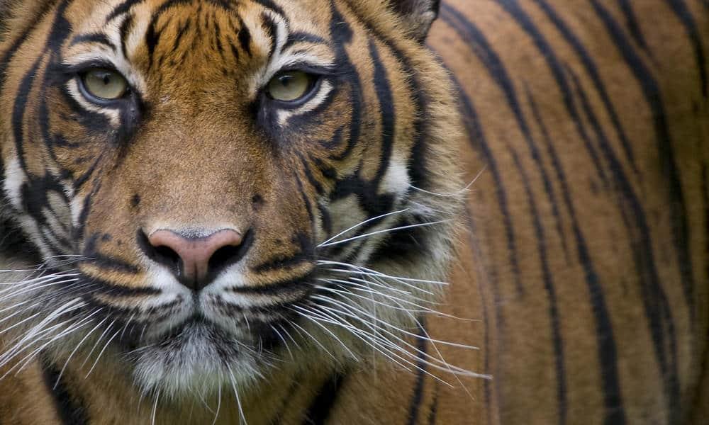 Как сделать мои глаза тигра