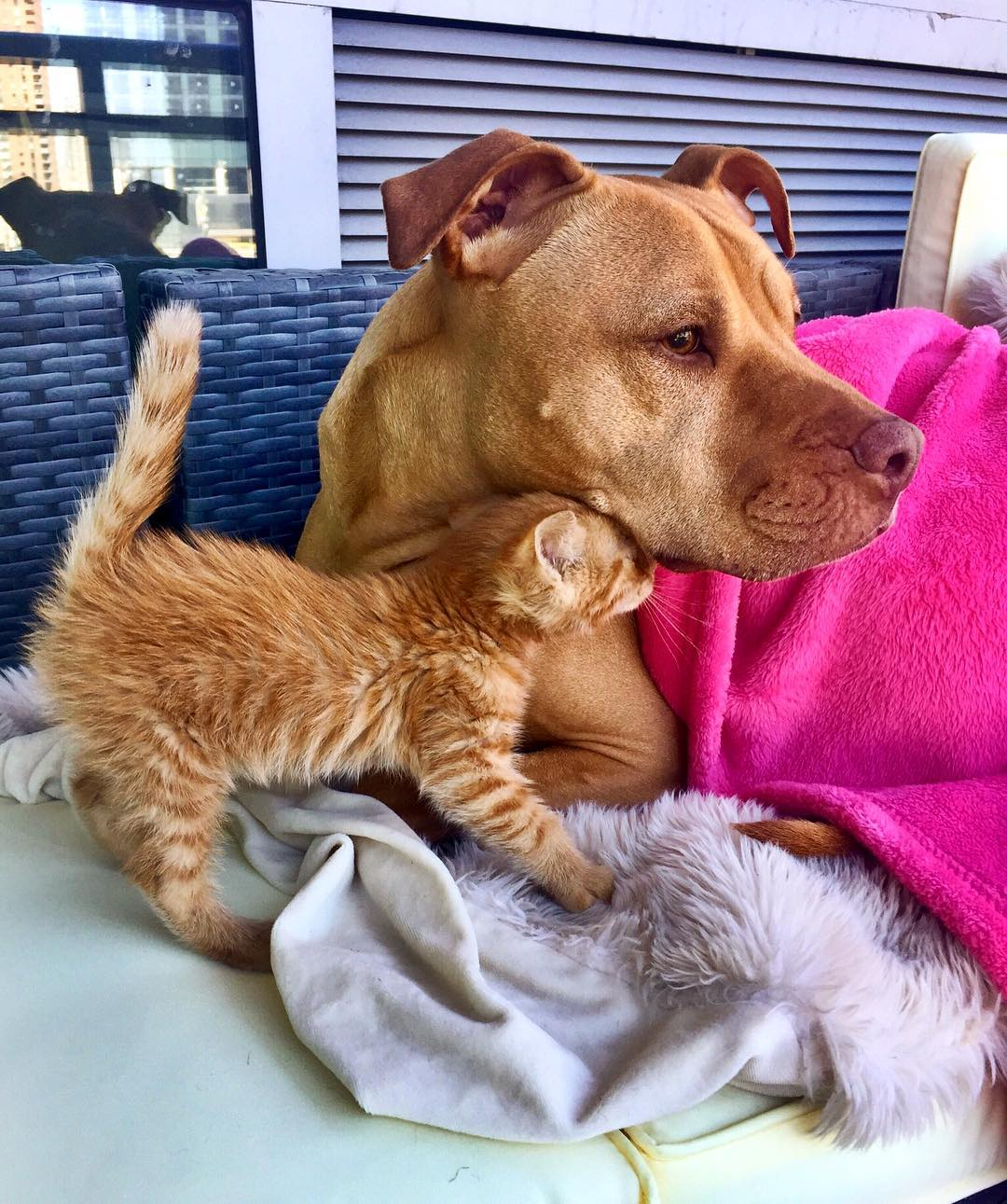 https://www.thedodo.com/rescue-pit-bull-adopted-kitten-1742584748.html