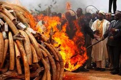 Breaking: Kenya Burns 106 Tons Of Ivory From Elephant Tusks And Rhino Horns