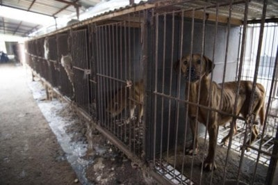 Activists Rescue 171 Dogs From Being Slaughtered In South Korea