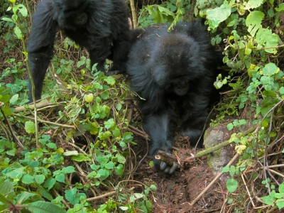 Gorillas Seen Dismantling Poachers' Traps In The Wild – A First