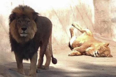 Two Lions Shot And Killed To Protect Suicidal Man Who Jumped Into Their Enclosure