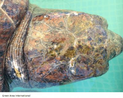 Lebanese Sea Turtle Beaten On The Beach For Photos