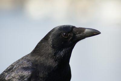 raven-501528_1920