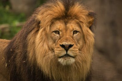Zoo Cuts Off Part Of Lion's Tail During Live Kids' Performance