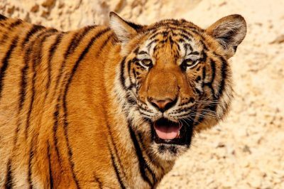 Tiger Kills Keeper At Spanish Zoo