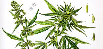 """Will Hemp Really Be A """"Miracle Crop"""" For The Economy?"""