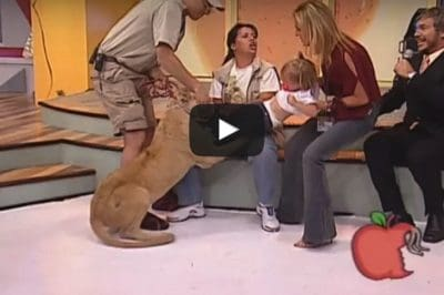 [Watch] The Terrifying Moment A Lion Tries To Eat A Toddler On Live TV