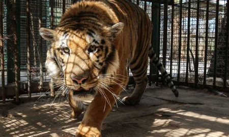 Gaza Strip, Khan Younis Zoo | 2016 04 | Food delivery and distribution at Khan Younis Zoo and Rafah Zoo in Gaza. Here: Tiger Laziz in his enclosure.