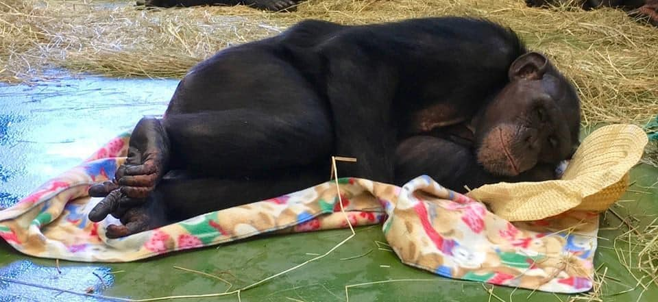 Emma, one of the rescued chimps, happily rests in her new home. Credit: Project Chimp