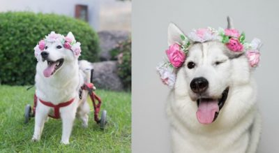 Husky Puppy Born Without Paws Couldn't Be Happier In Her New Wheelchair [Photos]