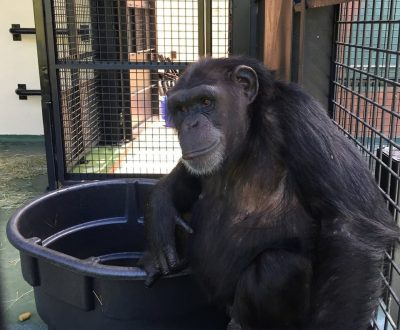 What What Happens When Former Lab Chimpanzees Try Watermelon For The First Time