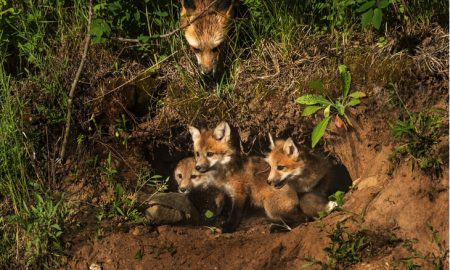 Wildlife Services killed 3,437 foxes in 2015. (Credit: Shutterstock)