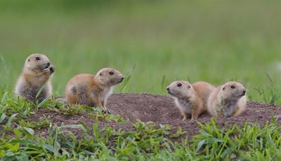 Wildlife Services killed over 20,000 prairie dogs in 2015 to make room for cattle. (Credit: Shutterstock)