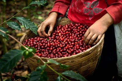 Coffee Industry Supporting 120M Poor People Will Soon Be Gone Because Of Climate Change
