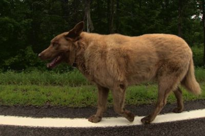 Dog Walks Four Miles Into Town Everyday And Gets Statue Erected In His Honor