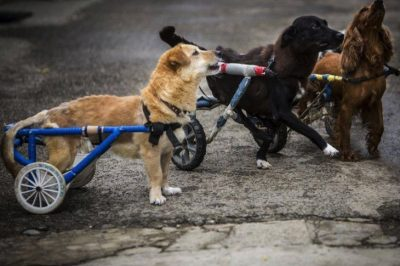 Animal Hospital Takes Paralyzed Dogs, Gives Them A Home And A Wheelchair
