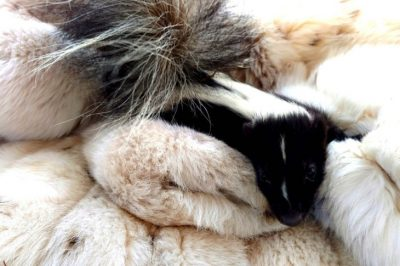 Old Fur Coats Donated To Wildlife Centers Are Saving Baby Animals