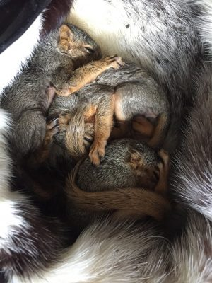 These squirrels' tree was cut down, leaving them homeless. (Credit: Snowdon Wildlife Sanctuary)
