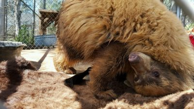 A one-year-old, three-legged black bear cub plays with a donated bison hide. (Credit: The Fund For Animals Wildlife Center)