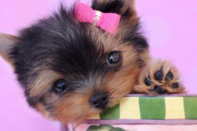 Credit: Teacup Puppies