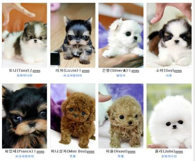 Credit: Ban Unethical Breeding of Teacup Puppies