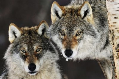 This Country Is About To Kill Their Remaining Wolves For—You Guessed It—Livestock