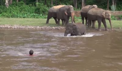 Baby Elephant Rushes Into River To 'Save' Her Favorite Human – Must See!