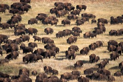 Thousands Of Buffalo Appear At Site Of Standing Rock Protest [Watch]
