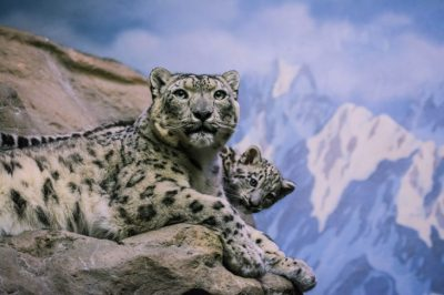 "Poachers Kill Hundreds Of Endangered Snow Leopards Every Year For ""Retaliation"" And Fur"