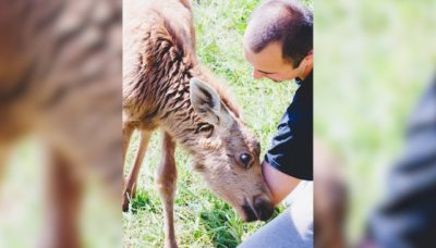 Guy Rescues Baby Moose, And Now She Visits Him Every Day