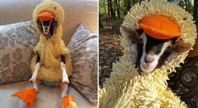 Adorable Rescue Goat Only Calms Down When She Wears A Duck Costume