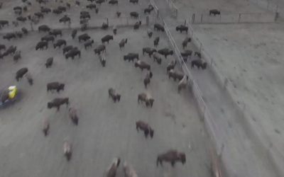 Company Behind DAPL Rounds Up Wild Buffaloes, Keeps Them Without Food Or Water [Watch]