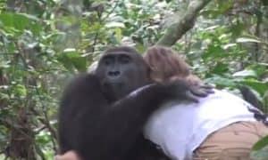 gorilla-hug-tansy-aspinall-foundation-youtubegrab