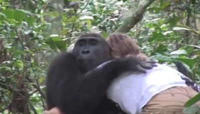 Wild Gorillas Remember Their Former Caretakers 11 Years Later