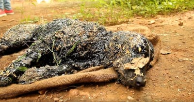Dog Who Fell Into Hot Tar Was Left To Die, Until Activists In India Did This…