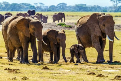 African Elephants Are Being Born Tuskless To Survive Poachers
