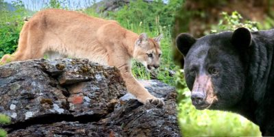 Colorado to Spend $4.5 Million to Kill Mountain Lions and Bears – The Reason Why is Unthinkable