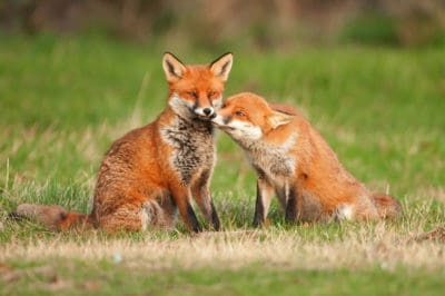 This Photo Of 2 Foxes Will Make You See The Effects Of Climate Change Like Never Before
